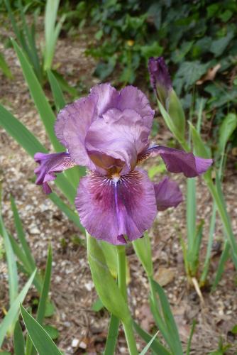 Une saison en iris (2019) - Page 3 P2610695-iris-rose-harmony-r